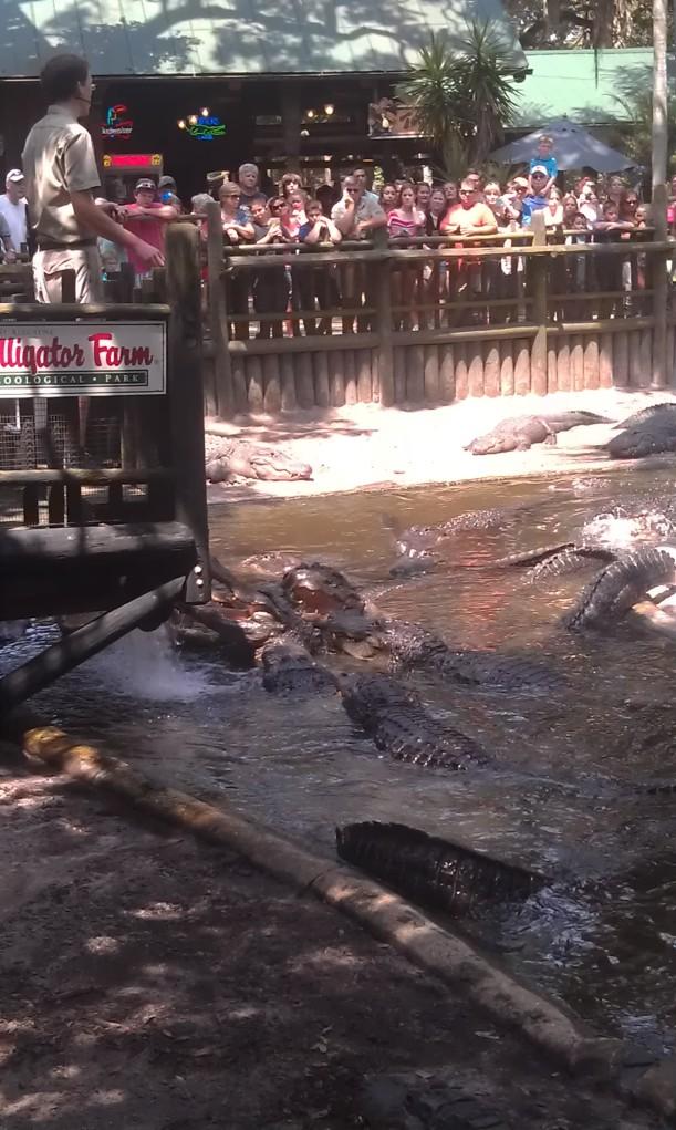Feeding the gators.