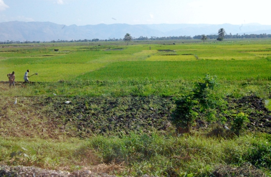 Rice fields in Haiti
